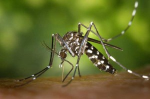 mosquito-tigre-500x330