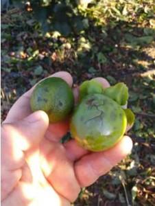 fruta-pedregada-1